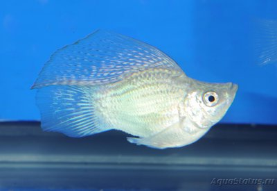Помогите опознать рыбку опознание рыб  - велифера баллон.jpg