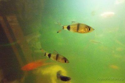 Помогите опознать рыбку опознание рыб  - DSCF4332.JPG