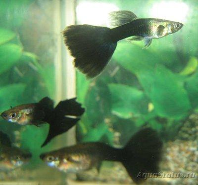 Помогите опознать рыбку опознание рыб  - 7063449f8f40.jpg