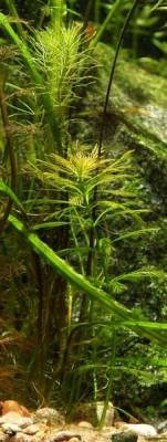 Опознание аквариумных растений - 2.jpg