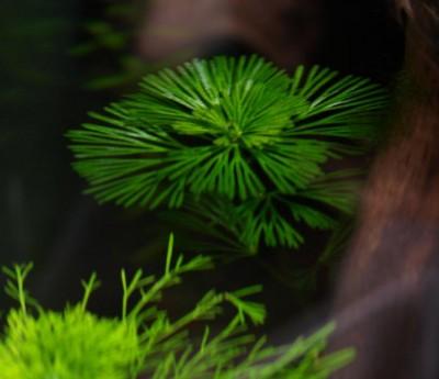 Опознание аквариумных растений - 4.jpg