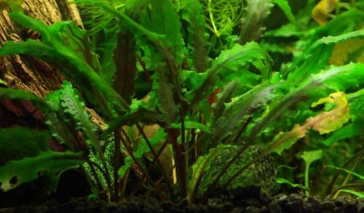 Аквариумные растения - опознание растений. - 13.jpg