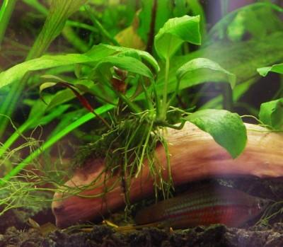 Аквариумные растения - опознание растений. - 14.jpg