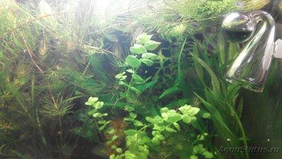 Аквариумные растения - опознание растений. - IMG_20151215_115022.jpg