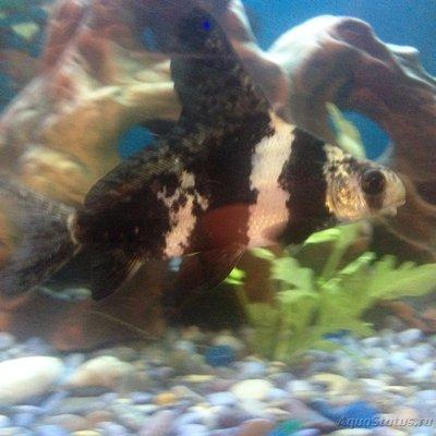 Помогите опознать рыбку опознание рыб  - IMG_1883.JPG