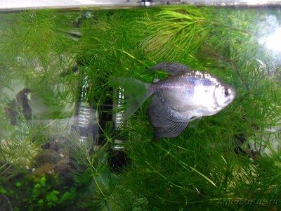 Помогите опознать рыбку опознание рыб  - SDC15307.JPG