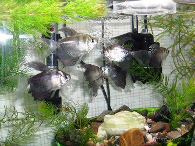 Помогите опознать рыбку опознание рыб  - SDC15309.JPG