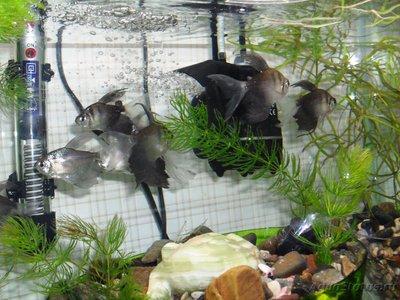 Помогите опознать рыбку опознание рыб  - SDC15312.JPG