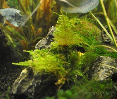 Мой первый аквариум с живыми растениями 60 литров ЮлькО  - Снимок1.JPG