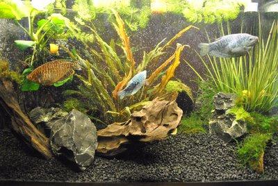 Мой первый аквариум с живыми растениями 60 литров ЮлькО  - DSC_0522.JPG