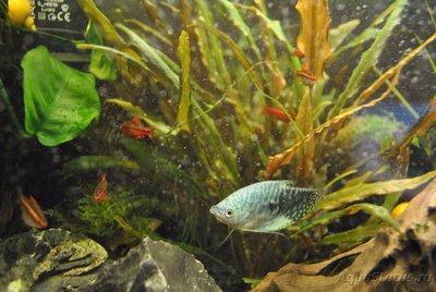 Мой первый аквариум с живыми растениями 60 литров ЮлькО  - DSC_0524.JPG