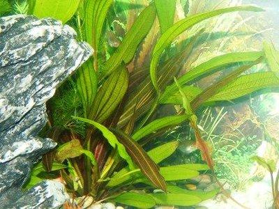 Аквариумные растения - опознание растений. - DSCN2726.jpg