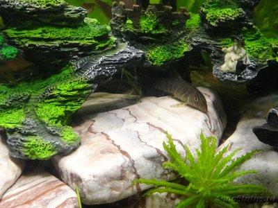 Мой маленький аквариум на кухне 30 литров Elena36  - DSC01138.JPG