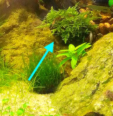 Аквариумные растения - опознание растений. - Screen+Shot+2015-11-26+at+22.19.57.png