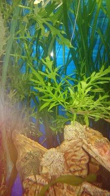 Опознание аквариумных растений - DSC_0813.JPG