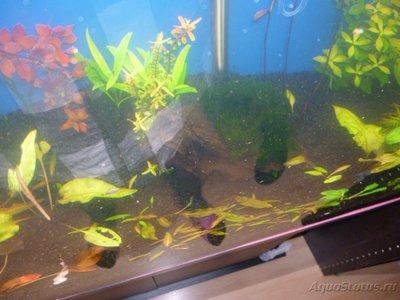 Червячки в аквариуме - P1000396.JPG