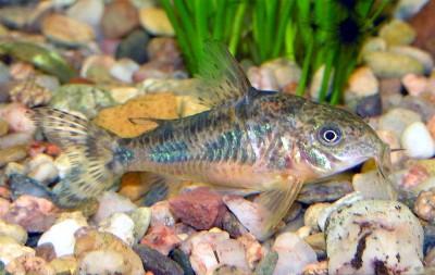 Какому количесвту рыбок будет комфортно в 50 литрах? - Corydoras-paleatus-6.jpg