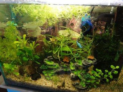 Мой маленький аквариум на кухне 30 литров Elena36  - DSC01305.JPG