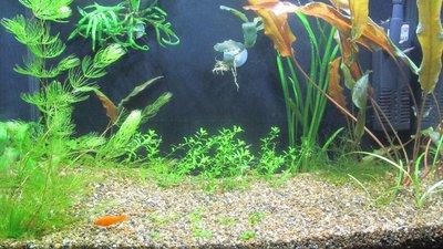 Мой аквариум 25 литров Pgambrinus  - IMG_3390.JPG