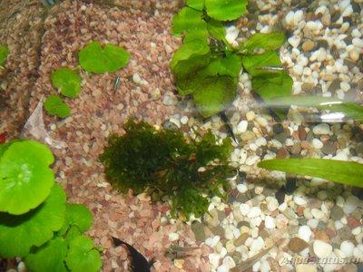 Мой первый аквариум на 30 литров delves  - SAM_0477.JPG