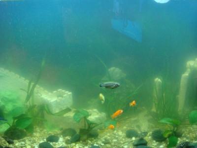 Цветение воды, зеленая вода, позеленела аквариум - DSC03036.JPG