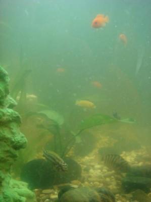 Цветение воды, зеленая вода, позеленела аквариум - DSC03038.jpg