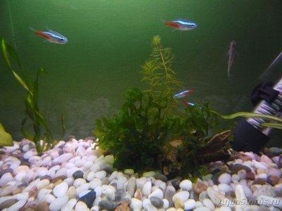 Мой первый аквариум на 30 литров delves  - SAM_0495.JPG
