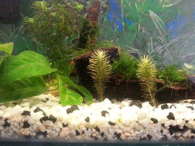 Аквариумные растения - опознание растений. - 20160329_141923.jpg