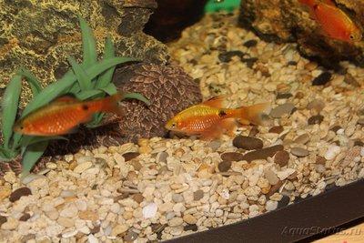 Помогите опознать рыбку опознание рыб  - IMG_1320.JPG