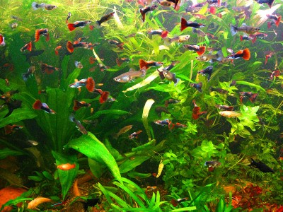 Какому количесвту рыбок будет комфортно в 50 литрах? - 1a3f36c26fc8.jpg