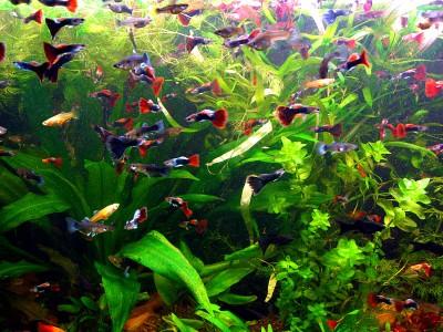 Какому количесвту рыбок будет комфортно в 50 литрах? - 1ca4e2571d46.jpg