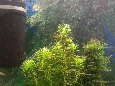 Аквариумные растения - опознание растений. - 20160403_102831.jpg