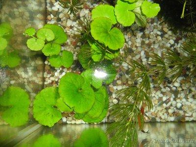 Мой первый аквариум на 30 литров delves  - SAM_0576.JPG