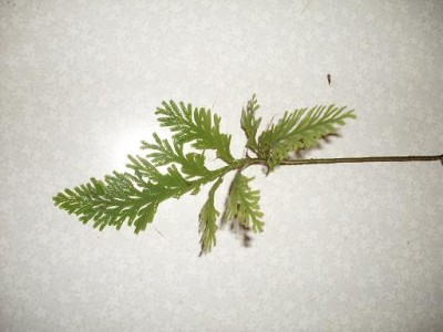 Что это за растения? - SDC11128.JPG