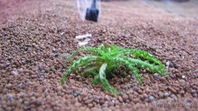 Аквариумные растения - опознание растений. - IMG_5608.JPG