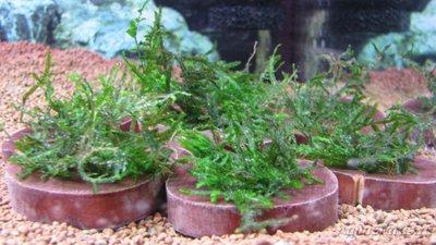Аквариумные растения - опознание растений. - IMG_5606.JPG