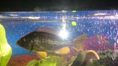 Помогите опознать рыбку опознание рыб  - 14621347633651259354493.jpg