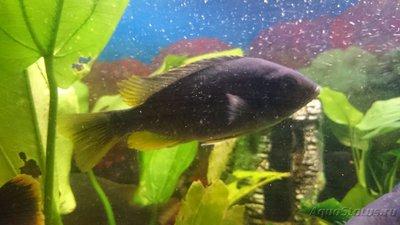 Помогите опознать рыбку опознание рыб  - 14621353419291575731514.jpg