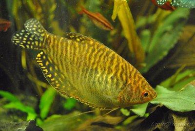 Мой первый аквариум с живыми растениями 60 литров ЮлькО  - DSC_0611.JPG