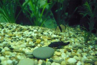 Помогите опознать рыбку опознание рыб  - P1090117.JPG