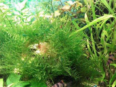 Аквариумные растения - опознание растений. - 20160509_195723.jpg