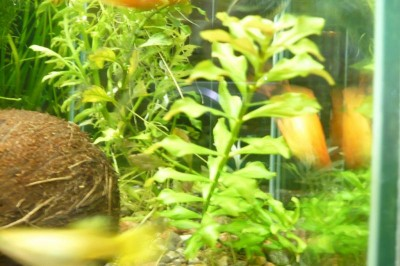 Опознание аквариумных растений - P1100382.JPG