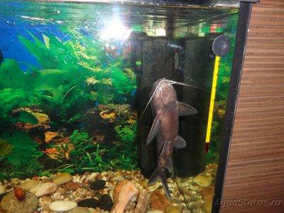 Помогите опознать рыбку опознание рыб  - DSC05512.JPG