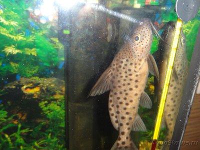Помогите опознать рыбку опознание рыб  - DSC05517.JPG