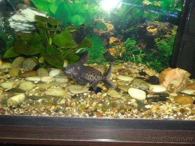 Помогите опознать рыбку опознание рыб  - DSC05527.JPG