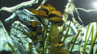 Аквариумные растения - опознание растений. - IMG_5656.JPG