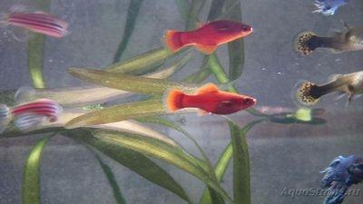Помогите опознать рыбку опознание рыб  - DSC_0048.JPG