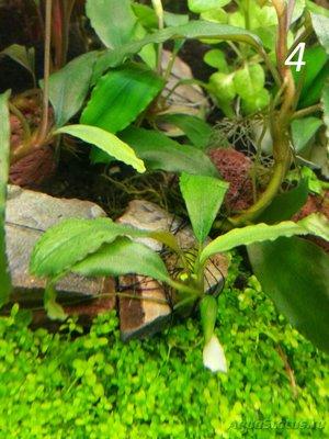 Аквариумные растения - опознание растений. - 4.jpg