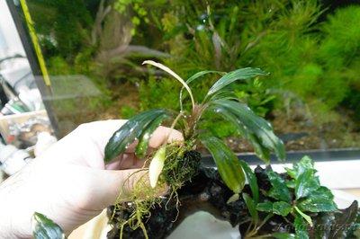 Bucephalandra sp. Kapuas Hulu - Bucephalandra sp. Kapuas Hulu.jpg