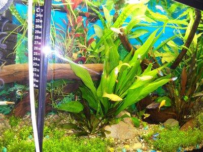 Коряга в аквариуме - SDC13364.JPG